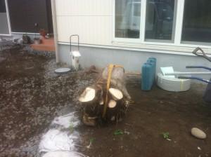 大きい木の根